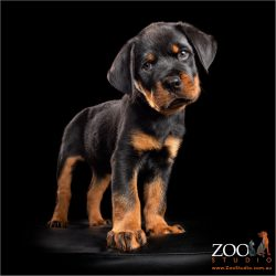 inquisitive male rottweiler puppy