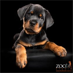 big pawed rottweiler boy puppy