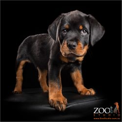 ready for action male rottweiler puppy