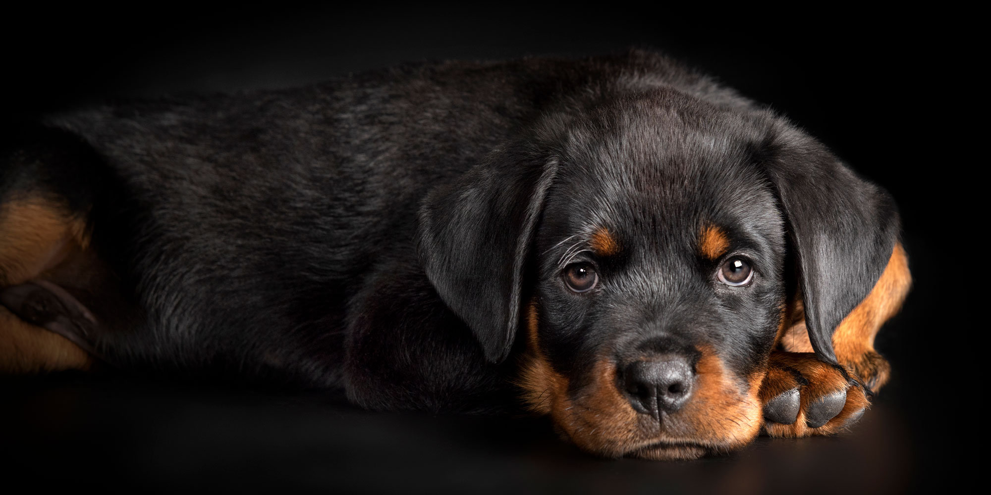 sweet faced make rottweiler puppy resting head