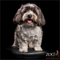 fluffy eared happy maltese shih tzu cross boy