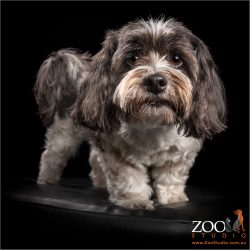 fluffy maltese shih tzu corss black and white