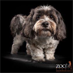fluffy maltese shih tzu corss black and white