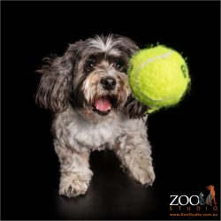 small maltese cross with large tennis ball
