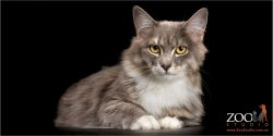 sitting pretty grey and white domestic long hair female cat