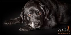 pensive senior black labrador girl