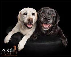 pair of smiling labradors back and white girls