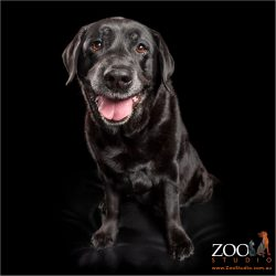 sitting and with a huge smile senior black labrador girl