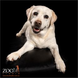 elegant cream labrador girl sitting on ottoman