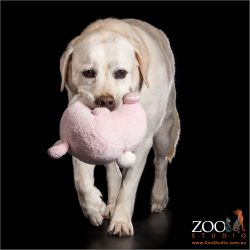 cream labrador walking with pink toy in mouth