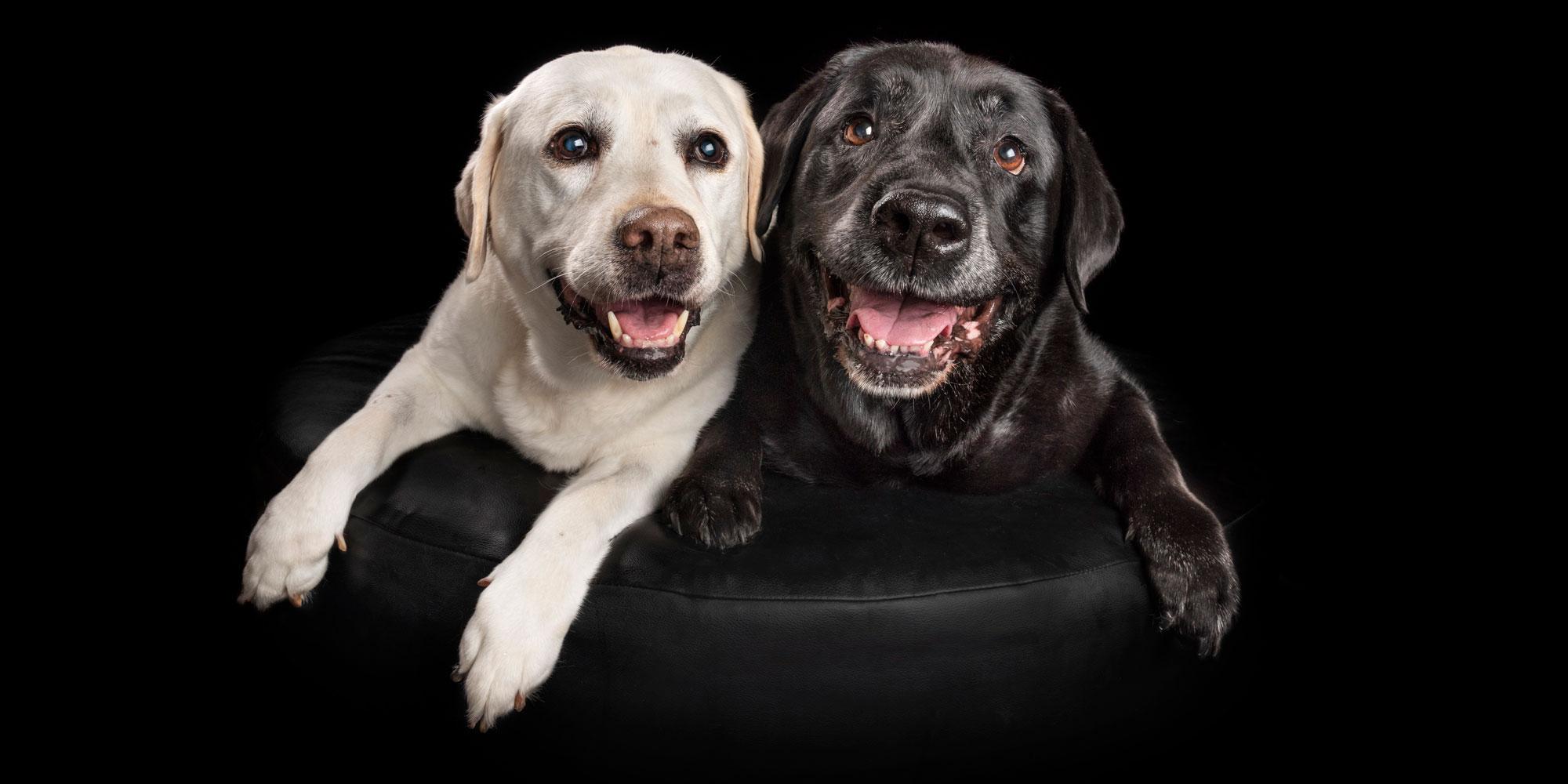 smiling pair of cream and black labrador girls