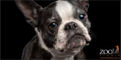 senior female boston terrier black and white face