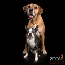 fur friends female boston terrier and male ridgeback mastiff