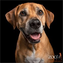 happy smile from male ridgeback mastiff cross