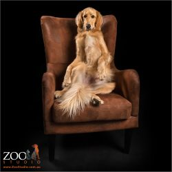 golden retriever cross sitting on bottom in chair