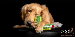 golden retriever cross chewing a colourful toy