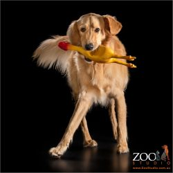 dancing male golden retriever cross with stuffed chicken in mouth