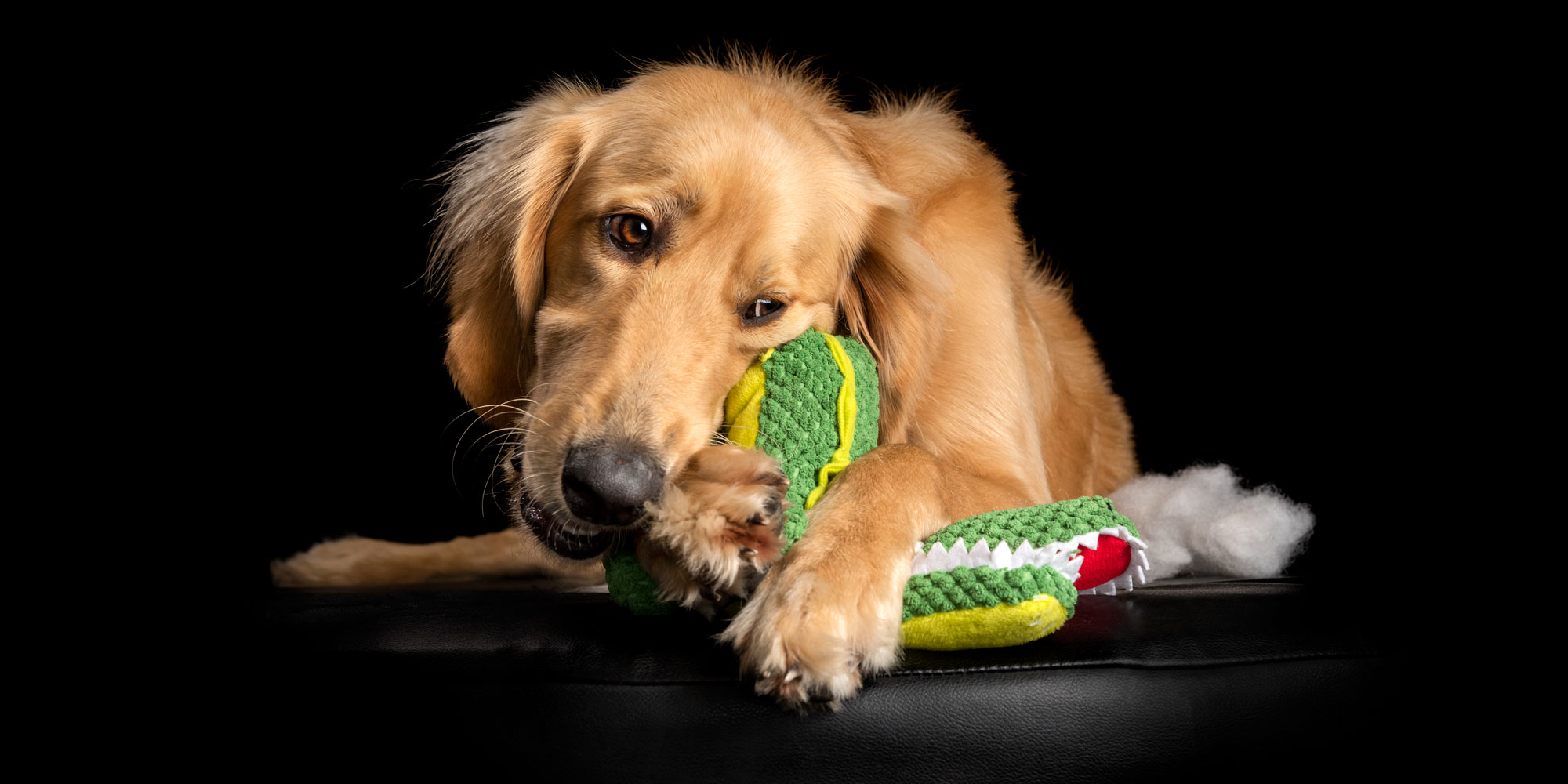 young male golden retriever cross lying with soft toy in mouth
