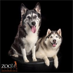 black and white fur-siblings husky cross and malamute