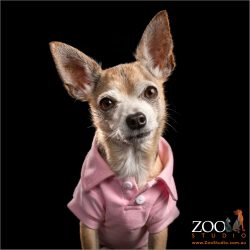 chihuahua wearing pink jacket