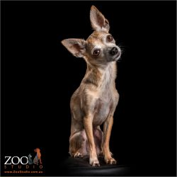 head tilting sitting male chihuahua