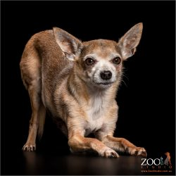 doggy yoga position from tan male chihuahua