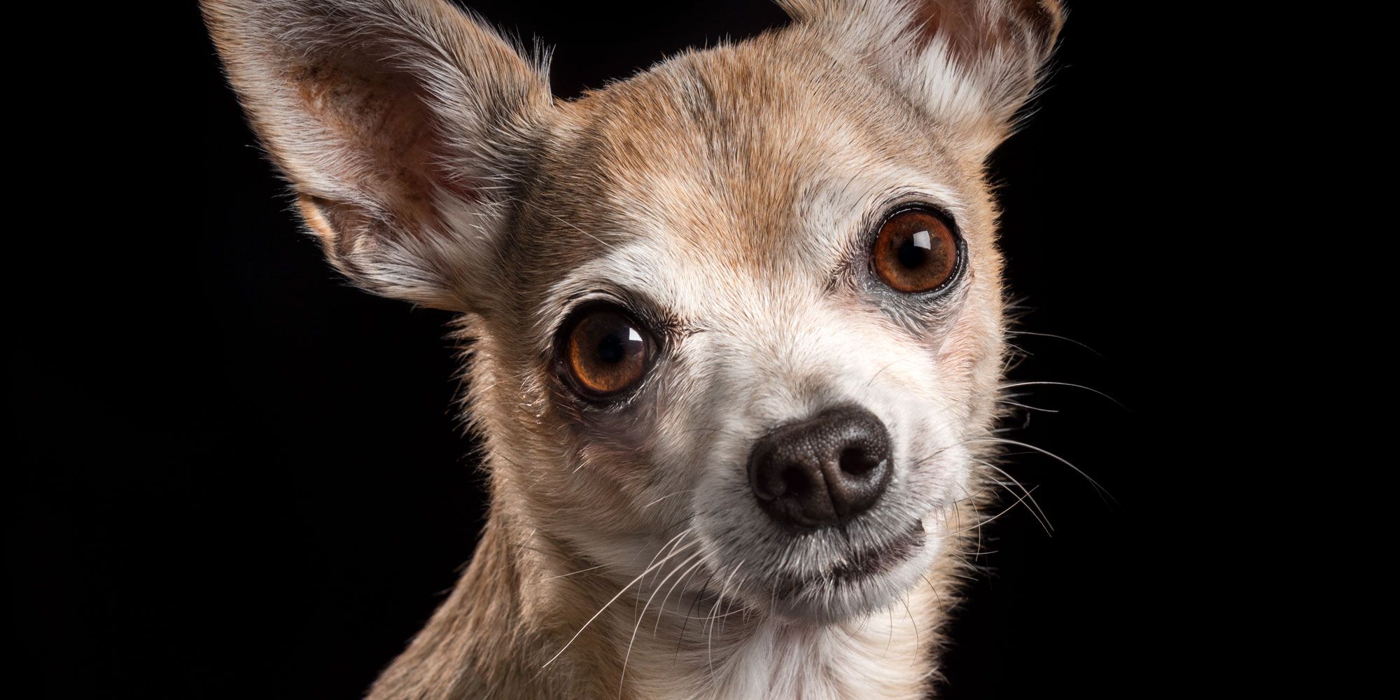 sooky look from boy chihuahua