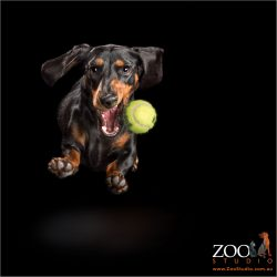 female mini dachshund leaping after tennis ball