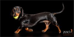 sleek coat on female mini dachshund