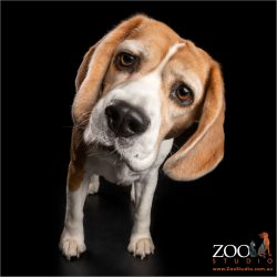 inquisitive beagle girl