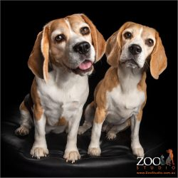 beagle fur-sisters sitting close