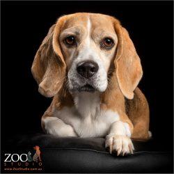 sphinx like beagle girl