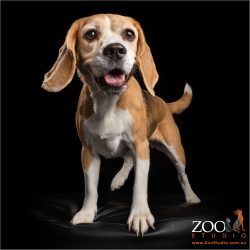 smiling beagle girl ready for action