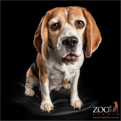 female beagle in sit position