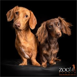 pair of dachshund fur-siblings red boy and chocolate girl