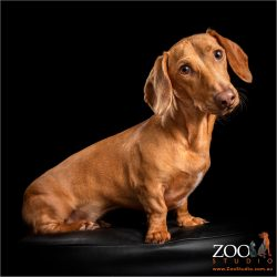young red dachshund boy sitting down