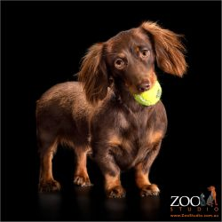 chocolate dachshund girl with tennis ball in mouth
