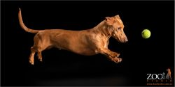 leaping red dachshund boy
