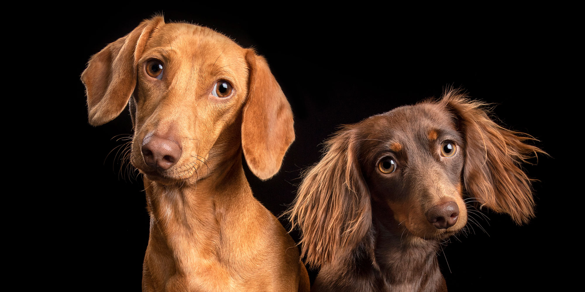 fur sibling dachshunds  sitting close red boy and chocolate girl