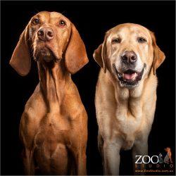 fur pals male golden retriever and female hungarian vizsla