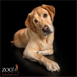 golden male labrador lounging on floor