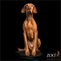 regal sit from female hungarian vizsla