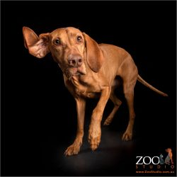 girl hungarian vizsla with ears flapping