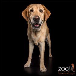 smiling male golden labrador
