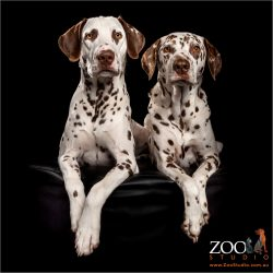 regal brown  and white dalmatian fur siblings
