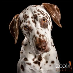 sweet faced brown and white dalmatian girl