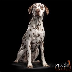regal sit from brown and white dalmatian female