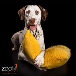 male dalmatian cuddling yellow cushion