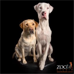 fur-bros yellow labrador and great dane cross wolfhound