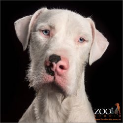 pink and black nosed white great dane cross wolfhound boy